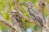 Tawny Frogmouth (Podargus strigoides) adult with large chick, Queensland, Australia.