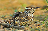 598060021 a wild cactus wren campylorhynchus brunniecepillus taking a dust bath rio grande valley texas