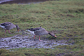 Greylag Goose (Anser anser) Piar grazing on a Muddy patch on the saltmarsh. This species is the ancestor of domesticated geese in Europe and North America.