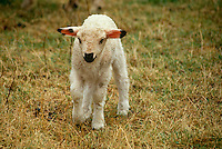 Baby Lamb, Ovis Aries,  walking in meadow, rural Switzerland
