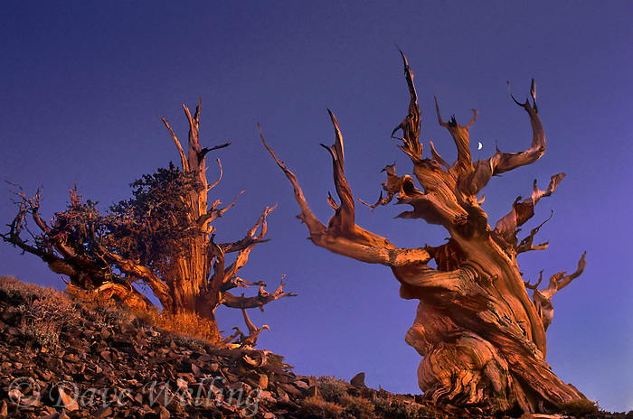 920000013 panoramic view of two bristlecone pines pinus longeava in late sunset light above 9,000 feet with a rising quarter moon in the white mountains of central california