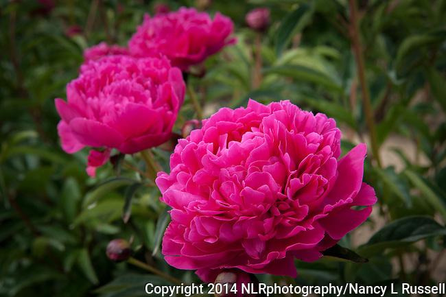 http://cdn.c.photoshelter.com/img-get/I00002BzUMLQ8Wcg/s/650/650/red-peony-flower-20140613-DSC3257.jpg
