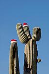 Saguaro cactus (Carnegiea gigantea) with Santa hat, Tucson, Arizona