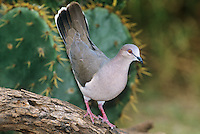 518230006  a wild white-tipped dove leptotila verreauxi perches on a mesquite log with its tail raised high in the rio grande valley of south texas