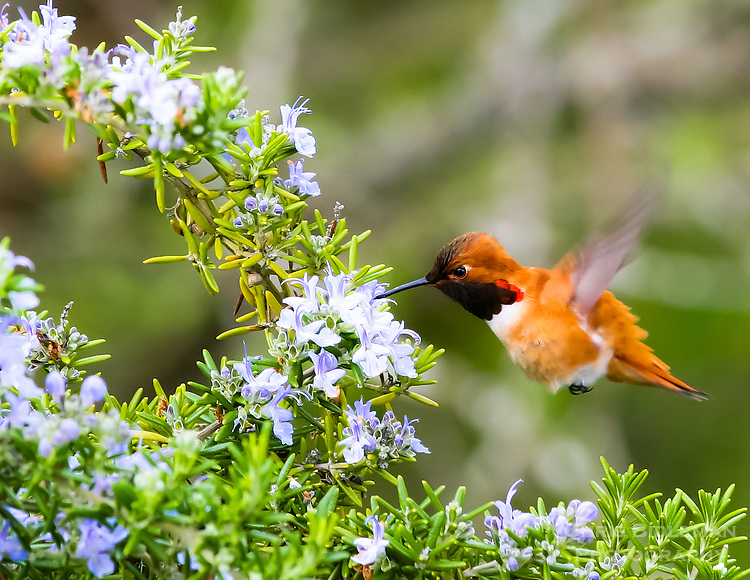 Gift card photo (set of 4) of Rufous Hummingbird in Spring feeding on rosemary blossoms in the Spring