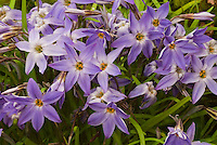 Spring flowering minor bulbs Ipheion 'Froyle Mill' in violet bloom