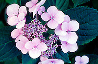 HYDRANGEA FLOWERS: VIOLET IN NEUTRAL SOIL<br />