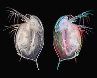 Two images of Daphnia. The left animal was photographed using fiber optic illumination and the right crustacean was photographed using red, green, and blue filter gels. LM X5