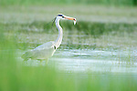 Grey Heron, Areda Cinerea, Lesvos Island, Greece, Kalloni Salt Pans, wading in water, with fish in beak, feeding, winter visitor , lesbos