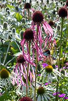 Echinacea pallida + Eryngium giganteum Silver Ghost in prairie style planting combination & Echinacea purpurea alba