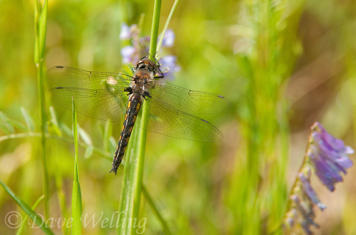 310860004 a wild female common baskettail epitheca cyanosa perches on a tall grass stem in jasper county texas