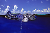 A Violet Snail (Janthina janthina) floats on a raft of bubbles while it feeds on a Portuguese Man-of-War (Physalia physalis) - Captive Specimen