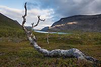 Dead birch tree above Lake Kaitumjaure, Kungsleden trail, Lapland, Sweden