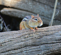 Courtesy photo/TERRY STANFILL<br /> CHIPMUNK CHOW<br /> A chipmunk's cheeks are full while it dines close to Swepco Lake near Gentry. Terry Stanfill of the Dectur are took the picture Nov. 14.
