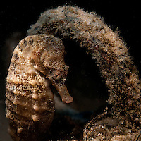 Meditrrenean Sea Horse (Hippocampus hippocampus) at night dive near Maagan Michael
