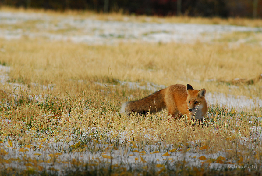 Red Fox Hunting in Autumn Field