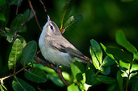 Warbling Vireo searching for bugs