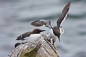 Common Guillemot (Uria aalge) Stuggling to find stable footing in high winds and compounded by the shortage of space. This image was taken in the breeding season (Spring) where space to nest can become a premium. Even though the Guillemot lays its egg on bare rock.