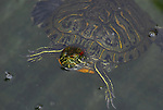 turtle in pond