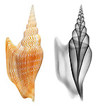 Reflective and x-ray photography study of a Lister's conch shell (Mirabilistrombus listeri, on white) by Jim Wehtje, specialist in x-ray art and design images.