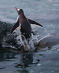 Gentoo penguin emerging from the ocean, Antarctica