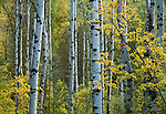 White barked tree trunks and golden leaves in the Idaho Panhandle National Forest's Coeur d'Alene District.
