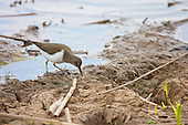 Common Sandpiper (Actitis hypoleucos) Foraging along the waters edge. Has a habit of bobbing up and down, and its rapid, stiff-winged flight low over the water. Summer visitor to upland rivers, lakes, and other bodies of water. Generally seen on it's own.