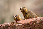 Two Yellow-bellied Marmots peeking over a red rock.