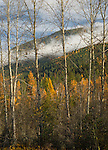 Golden larches and low clouds in the fall near Perkins Lake in Idaho