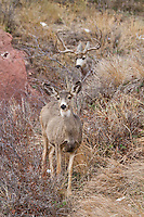 Wide mule deer buck (Odocoileus hemionus) chasing doe in Colorado