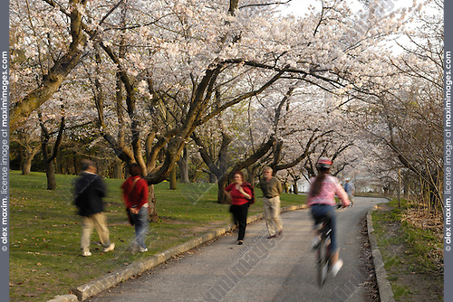 People walking in a park under beautiful flowering japanese cherry trees Someiyoshino Prunus Yedoensis Matsum Springtime evening scenic High Park Toronto Ontario Canada 2008 People have motion blur effect adding artistic dynamics City life and recreation concept