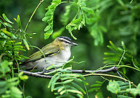 590690005 a red-eyed vireo vireo olivaceous a migratrory sonbgird perches in a tree on south padre island texas