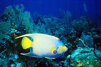 MARINE LIFE: REEFS<br /> Queen Angelfish