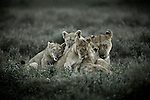 Lion and cubs, Serengeti National Park, Tanzania