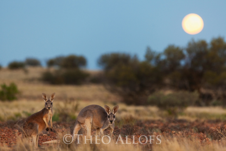 Australia,  NSW, Sturt National Park; red kangaroos at dusk with full moon (Macropus rufus); the red kangaroo population increased dramatically after the recent rains in the previous 3 years following 8 years of drought