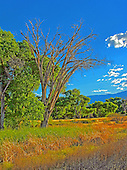 Photo fun with a Deadhorse Ranch State Park Cottonwood Tree Landscape.