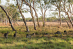 Undara Volcanic National Park, Queensland, Australia; a group of adult and young Eastern Grey Kangaroos (Macorpus giganteus) feeding on grasses in a field in early morning light