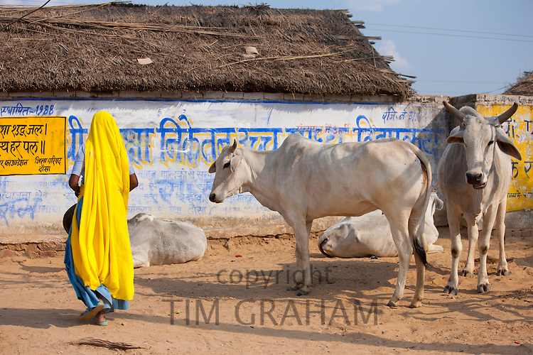 Indian woman comes to collect cow dung from herd of cattle at Jhupidiya Village in Sawai Madhopur, Rajasthan, Northern India