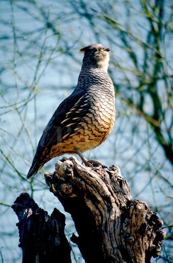 Scaled Quail, Callipepla squamata (Order - Gallinaceous; Subfamily - Phasianinae). A scratching, chicken-like bird. Hunted as a game bird. rain on the ground around their corrals and barns just for the pleasure of watching the antics of the quail. animals