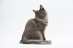 Norwegian Forest Cat - Male - Blue Smoke Colour - 9 months old
