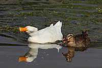 White Goose and female Mallard on the move.
