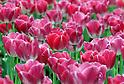 Tulips in Tokyo