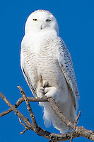 Snowy Owl perched in an old tree