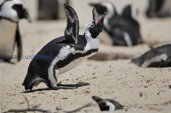 The African Penguin vocalizing (Spheniscus demersus), South Africa.