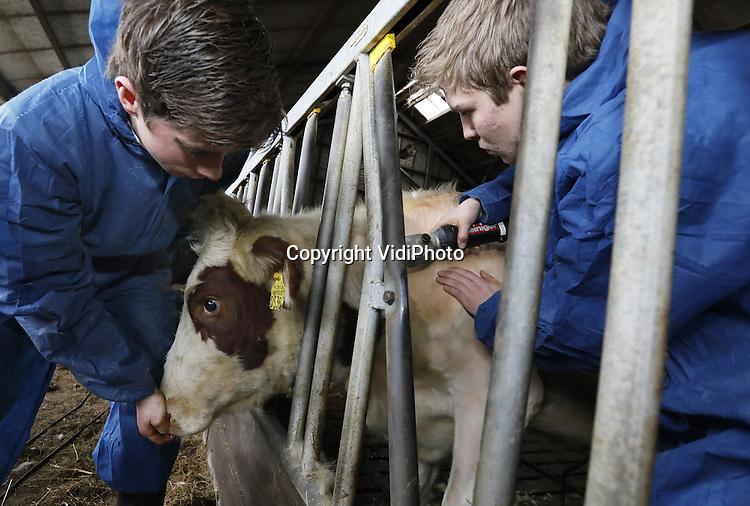 Foto: VidiPhoto<br /> <br /> SCHERPENZEEL - Studenten van de opleiding Medewerker Veehouderij van de agrarische mbo Groenhorst in Barneveld, helpen maandag op de melkveehouderij Ebbenhorst in Scherpenzeel 45 pinken hun 'jas' uittrekken. De dieren worden van hun vacht ontdaan omdat ze tijdens de winter in de warme stal blijven en niet meer naar buiten gaan. Om te voorkomen dat de koeien dan gaan zweten moeten ze eerste naar de kapper. Naast 45 stuks jongvee hebben de eigenaren Edwin en Nicole van der Vliert ook nog zo'n 85 melkkoeien die een scheerbeurt krijgen. Dankzij de eerstejaars studenten van Groenhorst is dat voor de boer dit jaar een eenvoudige klus. Hij hoeft slechts af en toe maar wat aanwijzingen te geven. Om kosten te besparen nemen steeds meer agrari&euml;rs klussen als ontharen, klauwbekappen en kunstmatige inseminatie in eigen hand.