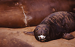 elephant seal pup with milk in mouth