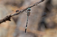 339850005 a wild male slender clubskimmer brechmorhoga praecox perches on a dead stick in sabino canyon pinal county arizona
