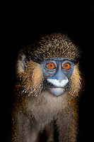 Head of Moustached Monkey (Cercopithecus cephus). Captivity