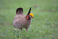 572110192 a wild lesser prairie chicken tympanuchus pallidicintus displays and struts on a lek on a remote ranch near canadian in the texas panhandle