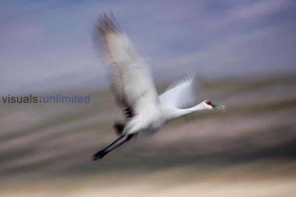 Sandhill crane, Grus canadensis, Bosque del Apache wildlife reserve, New Mexico, USA.